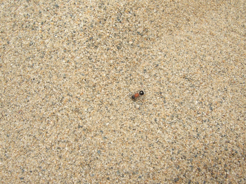 鳥取砂丘蟻(あり)